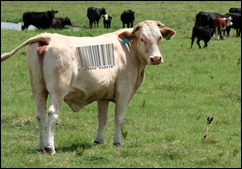 Cow with a barcode on its back